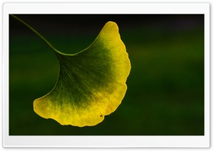 Ginkgo Leaf Macro HD Wide Wallpaper for Widescreen