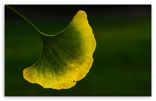 Ginkgo Leaf Macro ❤ 4K UHD Wallpaper for Wide 16:10 5:3 Widescreen WHXGA WQXGA WUXGA WXGA WGA ; 4K UHD 16:9 Ultra High Definition 2160p 1440p 1080p 900p 720p ; Standard 4:3 5:4 3:2 Fullscreen UXGA XGA SVGA QSXGA SXGA DVGA HVGA HQVGA ( Apple PowerBook G4 iPhone 4 3G 3GS iPod Touch ) ; Tablet 1:1 ; iPad 1/2/Mini ; Mobile 4:3 5:3 3:2 16:9 5:4 - UXGA XGA SVGA WGA DVGA HVGA HQVGA ( Apple PowerBook G4 iPhone 4 3G 3GS iPod Touch ) 2160p 1440p 1080p 900p 720p QSXGA SXGA ;