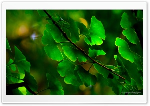 Ginkgo Leaves HD Wide Wallpaper for Widescreen