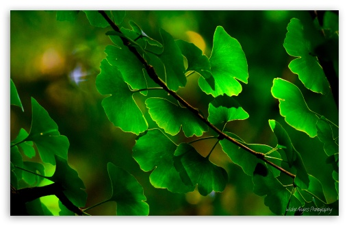 Ginkgo Leaves HD wallpaper for Wide 16:10 5:3 Widescreen WHXGA WQXGA WUXGA WXGA WGA ; HD 16:9 High Definition WQHD QWXGA 1080p 900p 720p QHD nHD ; Standard 4:3 5:4 3:2 Fullscreen UXGA XGA SVGA QSXGA SXGA DVGA HVGA HQVGA devices ( Apple PowerBook G4 iPhone 4 3G 3GS iPod Touch ) ; Tablet 1:1 ; iPad 1/2/Mini ; Mobile 4:3 5:3 3:2 16:9 5:4 - UXGA XGA SVGA WGA DVGA HVGA HQVGA devices ( Apple PowerBook G4 iPhone 4 3G 3GS iPod Touch ) WQHD QWXGA 1080p 900p 720p QHD nHD QSXGA SXGA ;