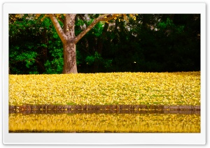 Ginkgo Reflection HD Wide Wallpaper for 4K UHD Widescreen desktop & smartphone