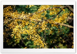 Ginkgo Tree Yellow Leaves Ultra HD Wallpaper for 4K UHD Widescreen desktop, tablet & smartphone