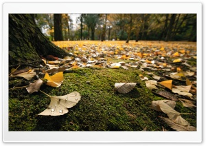 Ginko Leaves On The Ground In Autumn HD Wide Wallpaper for 4K UHD Widescreen desktop & smartphone