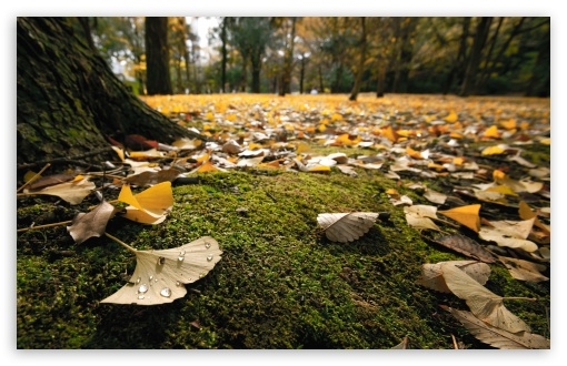 Ginko Leaves On The Ground In Autumn HD wallpaper for Wide 16:10 5:3 Widescreen WHXGA WQXGA WUXGA WXGA WGA ; HD 16:9 High Definition WQHD QWXGA 1080p 900p 720p QHD nHD ; Standard 4:3 5:4 3:2 Fullscreen UXGA XGA SVGA QSXGA SXGA DVGA HVGA HQVGA devices ( Apple PowerBook G4 iPhone 4 3G 3GS iPod Touch ) ; Tablet 1:1 ; iPad 1/2/Mini ; Mobile 4:3 5:3 3:2 16:9 5:4 - UXGA XGA SVGA WGA DVGA HVGA HQVGA devices ( Apple PowerBook G4 iPhone 4 3G 3GS iPod Touch ) WQHD QWXGA 1080p 900p 720p QHD nHD QSXGA SXGA ; Dual 16:10 5:3 16:9 4:3 5:4 WHXGA WQXGA WUXGA WXGA WGA WQHD QWXGA 1080p 900p 720p QHD nHD UXGA XGA SVGA QSXGA SXGA ;