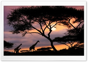 Girafas Na Savana HD Wide Wallpaper for 4K UHD Widescreen desktop & smartphone