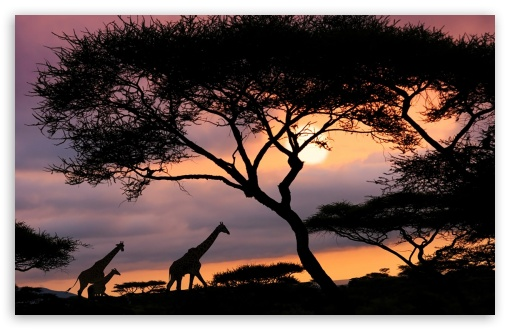 Girafas Na Savana ❤ 4K UHD Wallpaper for Wide 16:10 5:3 Widescreen WHXGA WQXGA WUXGA WXGA WGA ; 4K UHD 16:9 Ultra High Definition 2160p 1440p 1080p 900p 720p ; Standard 4:3 5:4 3:2 Fullscreen UXGA XGA SVGA QSXGA SXGA DVGA HVGA HQVGA ( Apple PowerBook G4 iPhone 4 3G 3GS iPod Touch ) ; Smartphone 16:9 3:2 5:3 2160p 1440p 1080p 900p 720p DVGA HVGA HQVGA ( Apple PowerBook G4 iPhone 4 3G 3GS iPod Touch ) WGA ; Tablet 1:1 ; iPad 1/2/Mini ; Mobile 4:3 5:3 3:2 16:9 5:4 - UXGA XGA SVGA WGA DVGA HVGA HQVGA ( Apple PowerBook G4 iPhone 4 3G 3GS iPod Touch ) 2160p 1440p 1080p 900p 720p QSXGA SXGA ;
