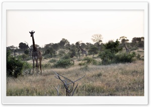 Giraffe HD Wide Wallpaper for Widescreen
