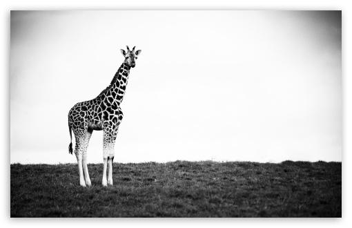 http://hd.wallpaperswide.com/thumbs/giraffe_3-t2.jpg