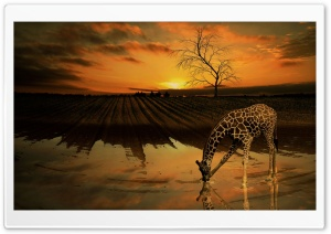 Giraffe Drinking Water HD Wide Wallpaper for Widescreen