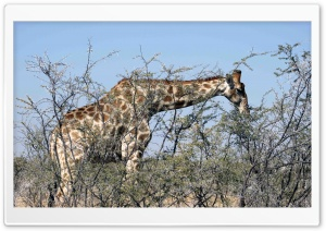 Giraffe Eating From A Tree HD Wide Wallpaper for Widescreen