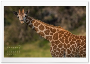 Giraffe May Calendar HD Wide Wallpaper for Widescreen
