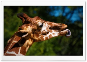 Giraffe Sticking Its Tongue Out HD Wide Wallpaper for Widescreen