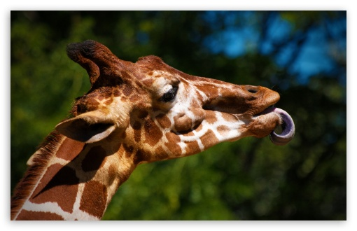 Giraffe Sticking Its Tongue Out HD wallpaper for Wide 16:10 5:3 Widescreen WHXGA WQXGA WUXGA WXGA WGA ; HD 16:9 High Definition WQHD QWXGA 1080p 900p 720p QHD nHD ; Standard 4:3 5:4 3:2 Fullscreen UXGA XGA SVGA QSXGA SXGA DVGA HVGA HQVGA devices ( Apple PowerBook G4 iPhone 4 3G 3GS iPod Touch ) ; iPad 1/2/Mini ; Mobile 4:3 5:3 3:2 16:9 5:4 - UXGA XGA SVGA WGA DVGA HVGA HQVGA devices ( Apple PowerBook G4 iPhone 4 3G 3GS iPod Touch ) WQHD QWXGA 1080p 900p 720p QHD nHD QSXGA SXGA ;