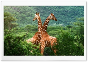Giraffes, Africa HD Wide Wallpaper for 4K UHD Widescreen desktop & smartphone