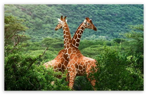 Giraffes, Africa HD wallpaper for Standard 4:3 5:4 Fullscreen UXGA XGA SVGA QSXGA SXGA ; Wide 16:10 5:3 Widescreen WHXGA WQXGA WUXGA WXGA WGA ; HD 16:9 High Definition WQHD QWXGA 1080p 900p 720p QHD nHD ; Other 3:2 DVGA HVGA HQVGA devices ( Apple PowerBook G4 iPhone 4 3G 3GS iPod Touch ) ; Mobile VGA WVGA iPhone iPad PSP Phone - VGA QVGA Smartphone ( PocketPC GPS iPod Zune BlackBerry HTC Samsung LG Nokia Eten Asus ) WVGA WQVGA Smartphone ( HTC Samsung Sony Ericsson LG Vertu MIO ) HVGA Smartphone ( Apple iPhone iPod BlackBerry HTC Samsung Nokia ) Sony PSP Zune HD Zen ; Tablet 2 ;