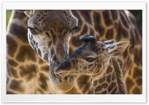 Giraffes Animals HD Wide Wallpaper for 4K UHD Widescreen desktop & smartphone