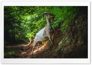 Goat HD Wide Wallpaper for Widescreen