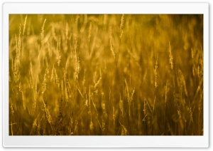 Gold Grass HD Wide Wallpaper for Widescreen