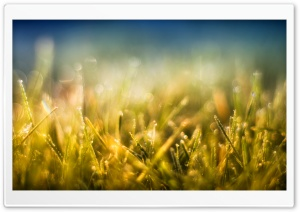 Gold Grass and Blue Sky HD Wide Wallpaper for Widescreen