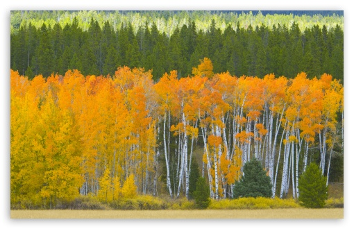 Golden Aspens, Grand Teton National Park, Wyoming ❤ 4K UHD Wallpaper for Wide 16:10 5:3 Widescreen WHXGA WQXGA WUXGA WXGA WGA ; 4K UHD 16:9 Ultra High Definition 2160p 1440p 1080p 900p 720p ; Standard 4:3 5:4 3:2 Fullscreen UXGA XGA SVGA QSXGA SXGA DVGA HVGA HQVGA ( Apple PowerBook G4 iPhone 4 3G 3GS iPod Touch ) ; Tablet 1:1 ; iPad 1/2/Mini ; Mobile 4:3 5:3 3:2 16:9 5:4 - UXGA XGA SVGA WGA DVGA HVGA HQVGA ( Apple PowerBook G4 iPhone 4 3G 3GS iPod Touch ) 2160p 1440p 1080p 900p 720p QSXGA SXGA ;