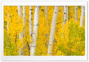 Golden Aspens, Rocky Mountains, Colorado HD Wide Wallpaper for 4K UHD Widescreen desktop & smartphone