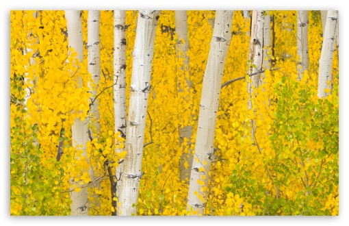 Golden Aspens, Rocky Mountains, Colorado HD wallpaper for Wide 16:10 5:3 Widescreen WHXGA WQXGA WUXGA WXGA WGA ; HD 16:9 High Definition WQHD QWXGA 1080p 900p 720p QHD nHD ; Standard 4:3 5:4 3:2 Fullscreen UXGA XGA SVGA QSXGA SXGA DVGA HVGA HQVGA devices ( Apple PowerBook G4 iPhone 4 3G 3GS iPod Touch ) ; Tablet 1:1 ; iPad 1/2/Mini ; Mobile 4:3 5:3 3:2 16:9 5:4 - UXGA XGA SVGA WGA DVGA HVGA HQVGA devices ( Apple PowerBook G4 iPhone 4 3G 3GS iPod Touch ) WQHD QWXGA 1080p 900p 720p QHD nHD QSXGA SXGA ;