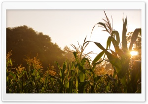 Golden Corn HD Wide Wallpaper for Widescreen