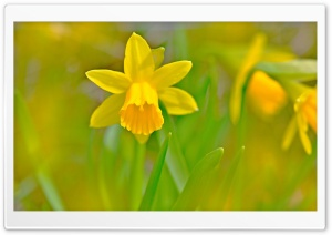 Golden Daffodils HD Wide Wallpaper for Widescreen