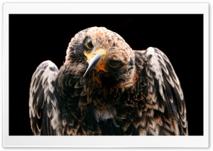 Golden Eagle HD Wide Wallpaper for Widescreen