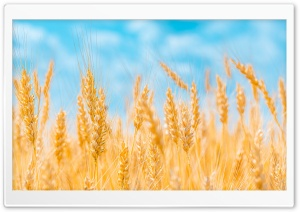 Golden Ears of Wheat, Blue Sky Ultra HD Wallpaper for 4K UHD Widescreen desktop, tablet & smartphone