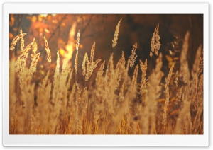 Golden Field Ultra HD Wallpaper for 4K UHD Widescreen desktop, tablet & smartphone