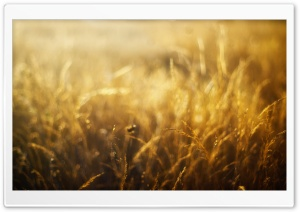 Golden Field HD Wide Wallpaper for Widescreen