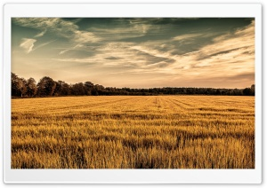 Golden Field HD Wide Wallpaper for 4K UHD Widescreen desktop & smartphone