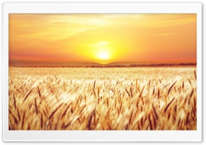 Golden Field Crops HD Wide Wallpaper for 4K UHD Widescreen desktop & smartphone