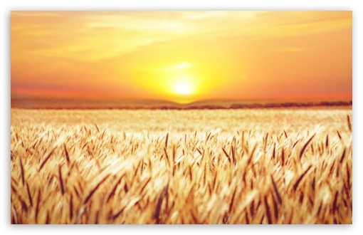Golden Field Crops UltraHD Wallpaper for Wide 16:10 5:3 Widescreen WHXGA WQXGA WUXGA WXGA WGA ; UltraWide 21:9 ; 8K UHD TV 16:9 Ultra High Definition 2160p 1440p 1080p 900p 720p ; Standard 4:3 5:4 3:2 Fullscreen UXGA XGA SVGA QSXGA SXGA DVGA HVGA HQVGA ( Apple PowerBook G4 iPhone 4 3G 3GS iPod Touch ) ; Smartphone 16:9 3:2 5:3 2160p 1440p 1080p 900p 720p DVGA HVGA HQVGA ( Apple PowerBook G4 iPhone 4 3G 3GS iPod Touch ) WGA ; Tablet 1:1 ; iPad 1/2/Mini ; Mobile 4:3 5:3 3:2 16:9 5:4 - UXGA XGA SVGA WGA DVGA HVGA HQVGA ( Apple PowerBook G4 iPhone 4 3G 3GS iPod Touch ) 2160p 1440p 1080p 900p 720p QSXGA SXGA ; Dual 16:10 5:3 4:3 5:4 3:2 WHXGA WQXGA WUXGA WXGA WGA UXGA XGA SVGA QSXGA SXGA DVGA HVGA HQVGA ( Apple PowerBook G4 iPhone 4 3G 3GS iPod Touch ) ;