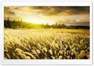 Golden Field, Sunset HD Wide Wallpaper for 4K UHD Widescreen desktop & smartphone