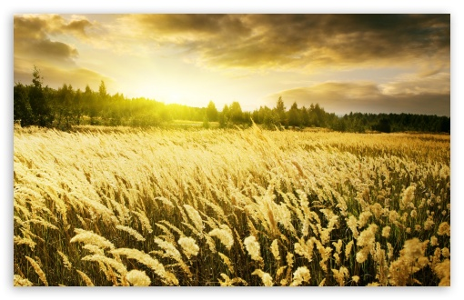 Golden Field, Sunset HD wallpaper for Wide 16:10 5:3 Widescreen WHXGA WQXGA WUXGA WXGA WGA ; HD 16:9 High Definition WQHD QWXGA 1080p 900p 720p QHD nHD ; Standard 4:3 5:4 3:2 Fullscreen UXGA XGA SVGA QSXGA SXGA DVGA HVGA HQVGA devices ( Apple PowerBook G4 iPhone 4 3G 3GS iPod Touch ) ; Tablet 1:1 ; iPad 1/2/Mini ; Mobile 4:3 5:3 3:2 16:9 5:4 - UXGA XGA SVGA WGA DVGA HVGA HQVGA devices ( Apple PowerBook G4 iPhone 4 3G 3GS iPod Touch ) WQHD QWXGA 1080p 900p 720p QHD nHD QSXGA SXGA ; Dual 16:10 5:3 16:9 4:3 5:4 WHXGA WQXGA WUXGA WXGA WGA WQHD QWXGA 1080p 900p 720p QHD nHD UXGA XGA SVGA QSXGA SXGA ;