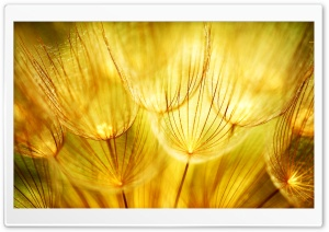 Golden Fluff HD Wide Wallpaper for Widescreen