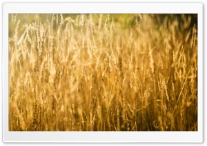 Golden Grass HD Wide Wallpaper for Widescreen