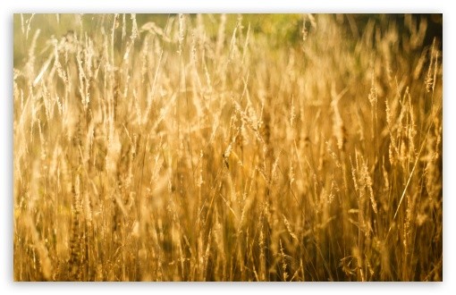 Golden Grass ❤ 4K UHD Wallpaper for Wide 16:10 5:3 Widescreen WHXGA WQXGA WUXGA WXGA WGA ; 4K UHD 16:9 Ultra High Definition 2160p 1440p 1080p 900p 720p ; UHD 16:9 2160p 1440p 1080p 900p 720p ; Standard 4:3 5:4 3:2 Fullscreen UXGA XGA SVGA QSXGA SXGA DVGA HVGA HQVGA ( Apple PowerBook G4 iPhone 4 3G 3GS iPod Touch ) ; Smartphone 5:3 WGA ; Tablet 1:1 ; iPad 1/2/Mini ; Mobile 4:3 5:3 3:2 16:9 5:4 - UXGA XGA SVGA WGA DVGA HVGA HQVGA ( Apple PowerBook G4 iPhone 4 3G 3GS iPod Touch ) 2160p 1440p 1080p 900p 720p QSXGA SXGA ; Dual 16:10 5:3 16:9 4:3 5:4 WHXGA WQXGA WUXGA WXGA WGA 2160p 1440p 1080p 900p 720p UXGA XGA SVGA QSXGA SXGA ;