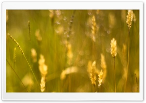 Golden Grass Seeds HD Wide Wallpaper for Widescreen