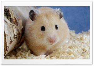 Golden Hamster Mesocricetus Auratus HD Wide Wallpaper for 4K UHD Widescreen desktop & smartphone