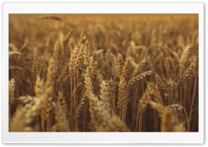 Golden Harvest HD Wide Wallpaper for Widescreen