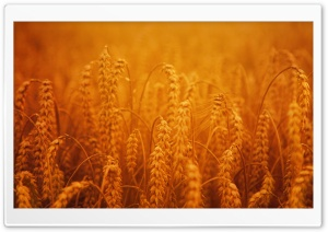 Golden Harvest Crops HD Wide Wallpaper for 4K UHD Widescreen desktop & smartphone