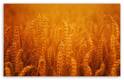 Golden Harvest Crops UltraHD Wallpaper for Wide 16:10 5:3 Widescreen WHXGA WQXGA WUXGA WXGA WGA ; UltraWide 21:9 24:10 ; 8K UHD TV 16:9 Ultra High Definition 2160p 1440p 1080p 900p 720p ; UHD 16:9 2160p 1440p 1080p 900p 720p ; Standard 4:3 5:4 3:2 Fullscreen UXGA XGA SVGA QSXGA SXGA DVGA HVGA HQVGA ( Apple PowerBook G4 iPhone 4 3G 3GS iPod Touch ) ; Smartphone 16:9 3:2 5:3 2160p 1440p 1080p 900p 720p DVGA HVGA HQVGA ( Apple PowerBook G4 iPhone 4 3G 3GS iPod Touch ) WGA ; Tablet 1:1 ; iPad 1/2/Mini ; Mobile 4:3 5:3 3:2 16:9 5:4 - UXGA XGA SVGA WGA DVGA HVGA HQVGA ( Apple PowerBook G4 iPhone 4 3G 3GS iPod Touch ) 2160p 1440p 1080p 900p 720p QSXGA SXGA ; Dual 16:10 5:3 16:9 4:3 5:4 3:2 WHXGA WQXGA WUXGA WXGA WGA 2160p 1440p 1080p 900p 720p UXGA XGA SVGA QSXGA SXGA DVGA HVGA HQVGA ( Apple PowerBook G4 iPhone 4 3G 3GS iPod Touch ) ; Triple 16:10 5:3 16:9 4:3 5:4 3:2 WHXGA WQXGA WUXGA WXGA WGA 2160p 1440p 1080p 900p 720p UXGA XGA SVGA QSXGA SXGA DVGA HVGA HQVGA ( Apple PowerBook G4 iPhone 4 3G 3GS iPod Touch ) ;