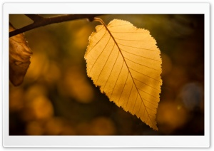 Golden Leaf HD Wide Wallpaper for Widescreen