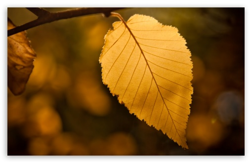 Golden Leaf ❤ 4K UHD Wallpaper for Wide 16:10 5:3 Widescreen WHXGA WQXGA WUXGA WXGA WGA ; Standard 4:3 5:4 3:2 Fullscreen UXGA XGA SVGA QSXGA SXGA DVGA HVGA HQVGA ( Apple PowerBook G4 iPhone 4 3G 3GS iPod Touch ) ; Tablet 1:1 ; iPad 1/2/Mini ; Mobile 4:3 5:3 3:2 5:4 - UXGA XGA SVGA WGA DVGA HVGA HQVGA ( Apple PowerBook G4 iPhone 4 3G 3GS iPod Touch ) QSXGA SXGA ;