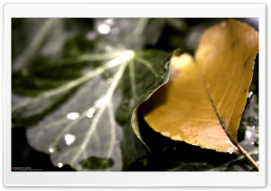 Golden Leaf (Precious But Fleeting) HD Wide Wallpaper for Widescreen
