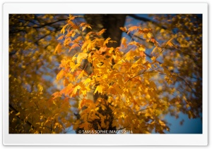 Golden Leaves, Autumn HD Wide Wallpaper for Widescreen