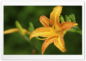 Golden Lily HD Wide Wallpaper for Widescreen